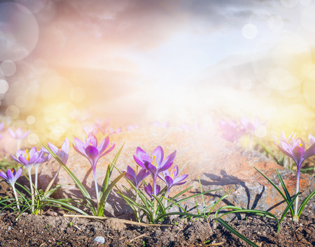 Crocuses glade with  sunlight and bokeh, sprigtime nature background