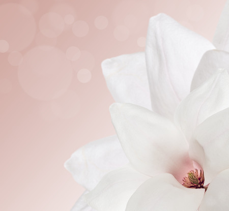pink cream background with white magnolia and bokeh