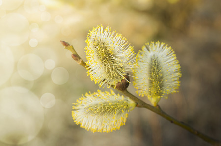 three yellow catkin on branch, at sunset, spring flowers photo