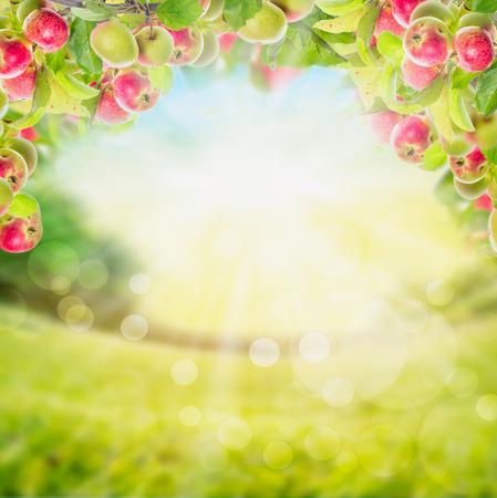 arbol de manzanas: Rama de Apple con las hojas sobre fondo borroso jardín