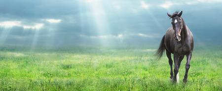 朝の野、ウェブサイト用バナーで warmblooded を実行している黒い馬