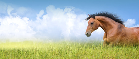 red horse: red horse in high summer grass against sky, banner