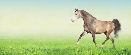 trot: horse running trot on green summer meadow, banner