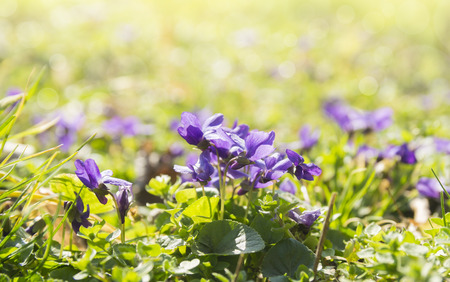 wild violets on sunny meadow Stock Photo - 38308004