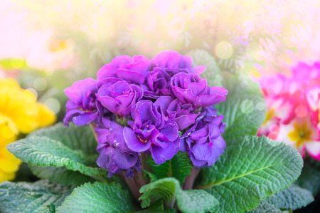 knurled: corrugated purple primrose in sunlight in flowerbed