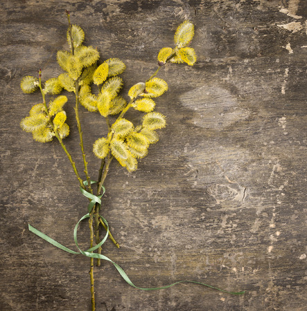 pussy yellow: Bouquet of yellow pussy willow with green bow on old wood