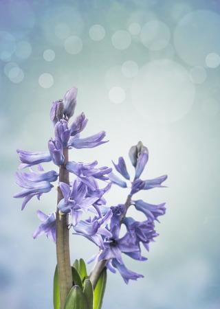 hyacinths: two blue hyacinths on bokeh background Stock Photo
