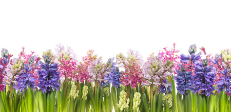 hyacinths flowers blooming in spring,banner,border, isolated