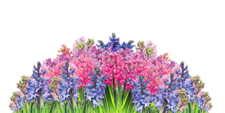 hyacinths: Floral border with multicolored hyacinths, isolated