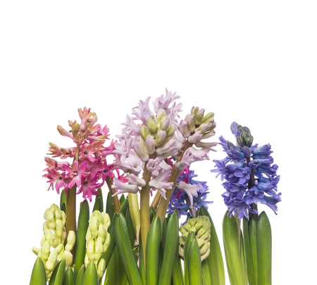 purples: pink and blue hyacinths flowers , isolated Stock Photo