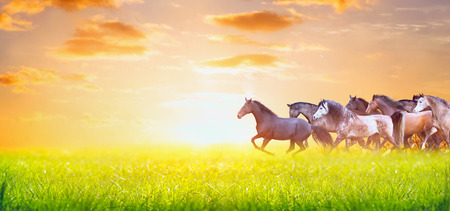 herd of horses running on sunny summer pasture over sunset sky, banner for website