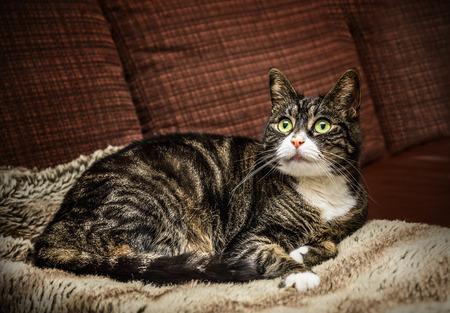 liying: domestic cat cat is lying on brown couch at home