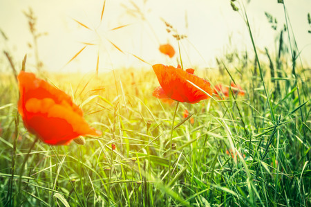 yellow  sun light: Summer poppy field in sun light