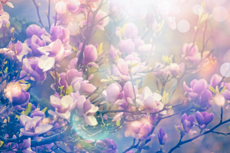 magnolia spring blooming garden, blurred nature background with sun shine and bokeh, toned