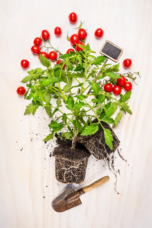 Tomato plant with root, soil, red cherry tomatoes and garden scoop on white wooden background, top view