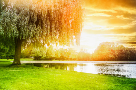 weeping willow: Called sallow tree on the shore of the pond in sunset light Stock Photo