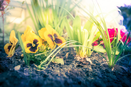 close p: Flower in garden beet with heartsease and soil, toned, outdoor