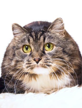 gray cat: gray furry cat, funny, isoolated