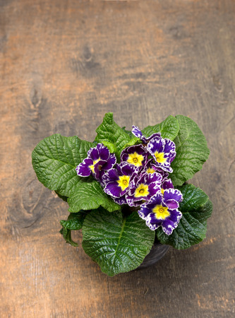 primula: bouquet of purple primrose on old wooden floor
