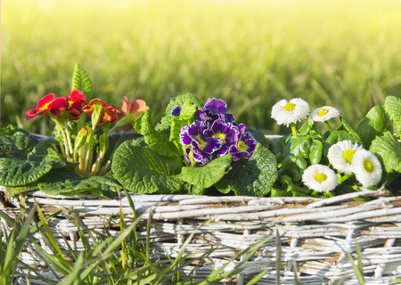 translated: Spring flowers, primroses and daisies on lawn of grass