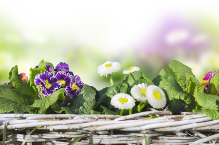 translated: Spring flowers, primroses, daisies in basket, isolated Stock Photo