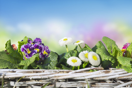 translated: Spring flowers, primroses, daisies in basket on background of blue sky,