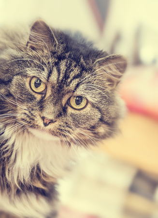 coon: Fluffy House Cat stares at camera on blurred background toned Stock Photo