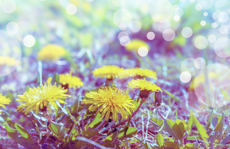 field of flowers: Yellow dandelion field flowers close up toned