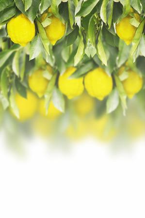 Fresh lemon on the lemon tree with green leaves on white background Stock Photo
