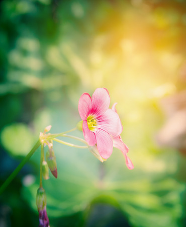 creeping woodsorrel: Pink shamrock flower over blurred garden background