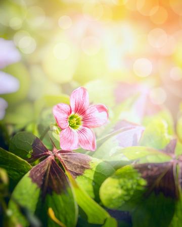 Pink shamrock flower over blurred garden background photo