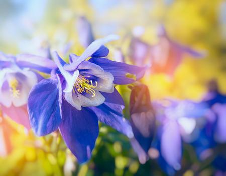 columbine: Columbine flowers in sun light close up