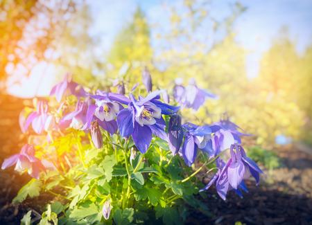 colorado state: Columbine Akelei flowers bush on blurred sunny nature background