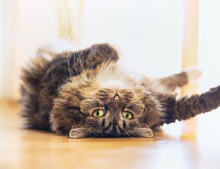 Grappige kat is ontspannen liggend op zijn rug en in de camera kijken speelse indoor
