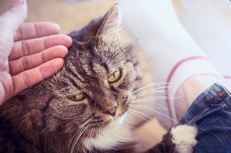 grey tabby: hand stroking the old fluffy cat Which lies on the legs of a woman close up retro toned Stock Photo