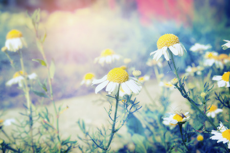 toned: Wild daisies in park or garden toned