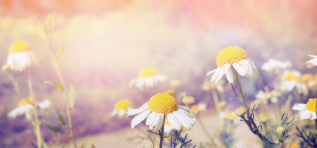 fields of flowers: Wild daisies on sunset light nature background banner for website toned Stock Photo