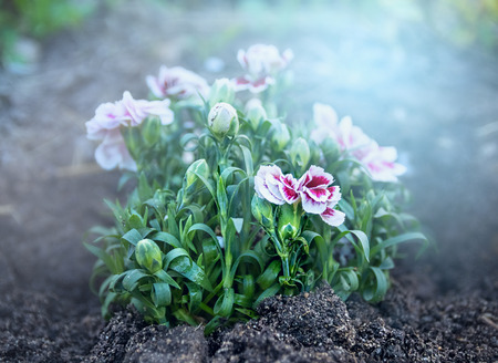small purple flower: Pink white carnation bunch on flower bed in morning garden outdoor