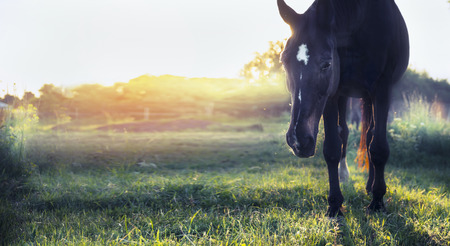 warmblood: Black Horse on summer pasture in sunset light banner for website Stock Photo