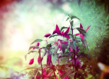 flores fucsia: Flores fucsias bonitas en el jardín de verano de fondo close up tonificado Foto de archivo
