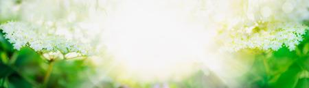 Elder blossom on light background banner for website