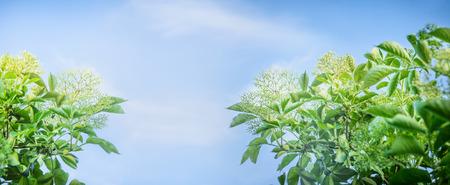 elder tree: Elder blossom on sky background banner for website