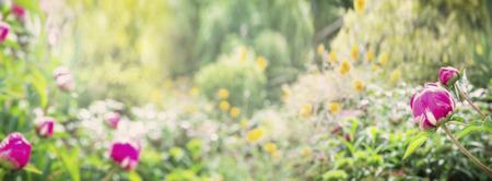 Summer park or garden with peony plant nature background banner for website Standard-Bild