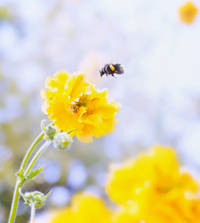 bumble bee: Geum flowers and bumblebee