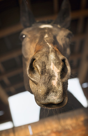 funny horse face begging in stabling photo