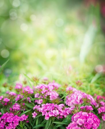 gilliflower: Pink dianthus flowers on blurred garden or park background