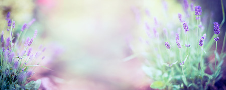 Fine lavender flowers and blooming plant on blurred nature background banner for website 스톡 콘텐츠
