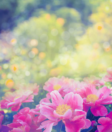 garden background: Beautiful pink peony flowers on garden background close up toned Stock Photo