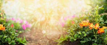 정원 개념 꽃 정원 배경 배너에 오렌지 장미 스톡 콘텐츠
