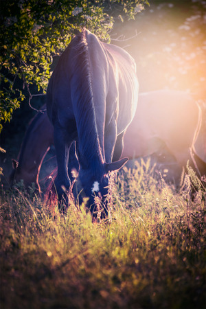 Black horse grazed on pasture sunset